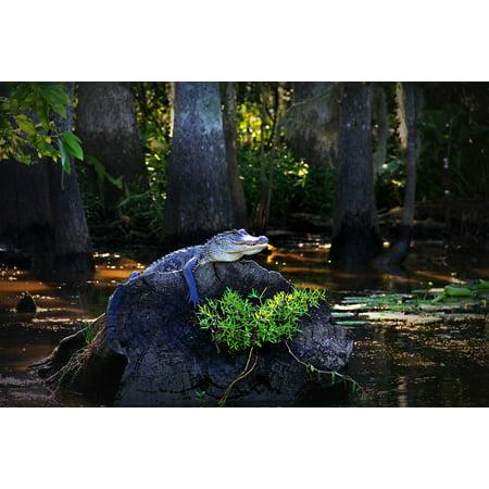 Canvas Print Gator Stump Alligator Water Louisiana Swamp Bayou Stretched Canvas 10 x 14