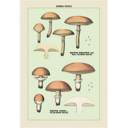 Buy Enlarge 0-587-04905-7P12x18 Edible Fungi- Boletus Luteus and Subluteus- Paper Size P12x18