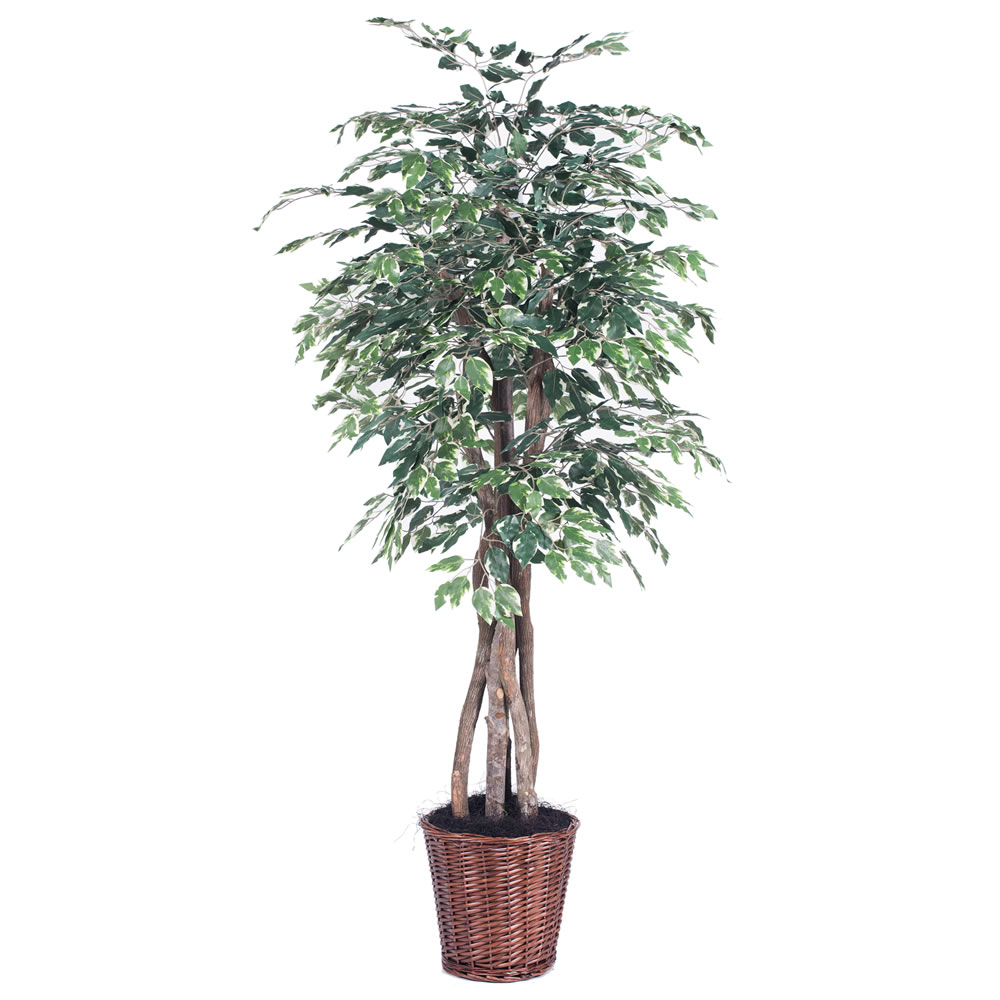 Vickerman 6' Artificial Variegated Ficus Executive in Rattan Basket