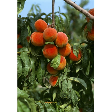 Agriculture - Ripe peaches on the tree ready for harvest  Sussex County Delaware USA Canvas Art - Robert Bennett  Design Pics (12 x 18)