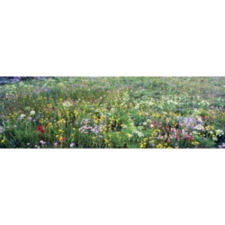 High angle view of wildflowers in a national park Grand Teton National Park Wyoming USA Stretched Canvas - Panoramic Images (36 x
