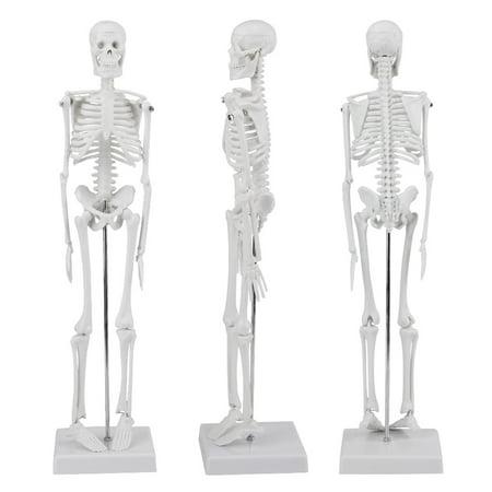 Removable Anatomical Human Skeleton Model Medical Poster Bonnet Stand for Studying Anatomy,1/4 Life Size ,45cm