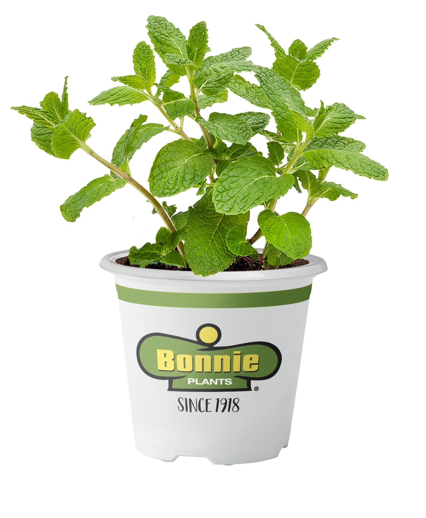 251b25bfeaa7 Bonnie Plants Sweet Mint (Live Plant)