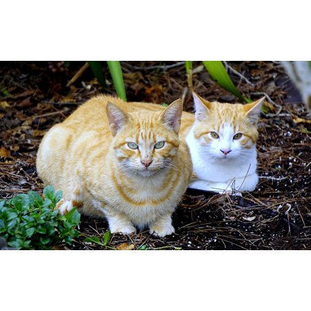 Canvas Print Cats Observing Mammal Animals Pet Pets Cats Nose Stretched Canvas 10 x 14 - Cat Nose