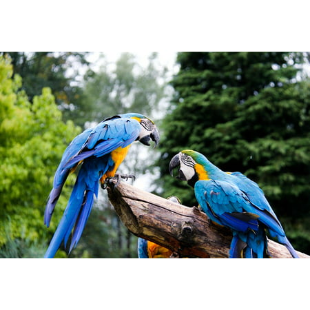 - Peel-n-Stick Poster of Animal Parrots Parrot Colorful Bird Zoo Ara Poster 24x16 Adhesive Sticker Poster Print