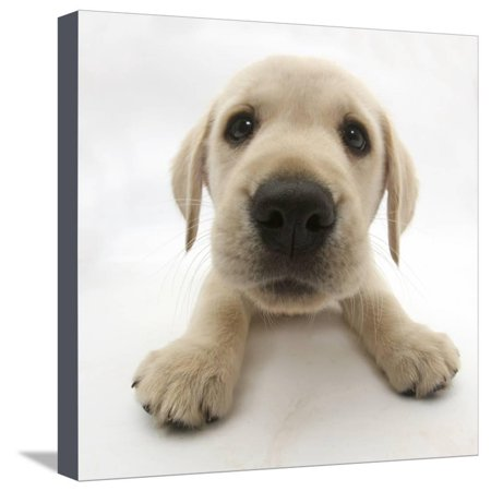 Yellow Labrador Retriever Puppy, 8 Weeks Old, Lying with Head Up Stretched Canvas Print Wall Art By Mark