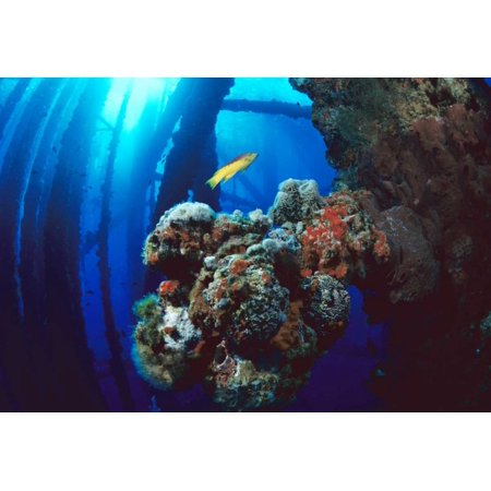 Coral growing on oil rig Flower Garden Banks NMS Texas Poster Print by Flip Nicklin (20 x 28)