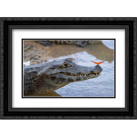 Spectacled Caiman with orange butterfly, Pantanal, Brazil 2x Matted 24x18 Black Ornate Framed Art Print by Wothe, Konrad