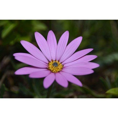 LAMINATED POSTER Lavender Bokeh Flower Garden Petals Blur Leaves Poster Print 24 x 36 - Lavender Petals