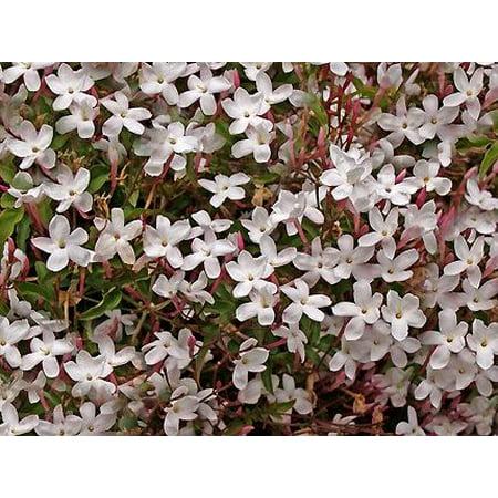 Vine, Pink Fragrant Flowers, Sun.