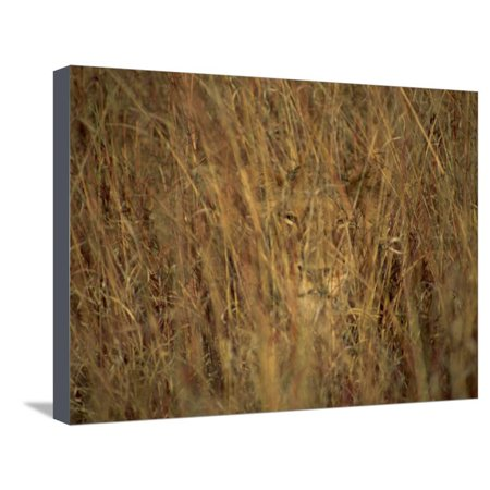Blue Hyde Park (Portrait of a Lioness Hiding and Camouflaged in Long Grass, Kruger National Park, South Africa Stretched Canvas Print Wall Art By Paul Allen)