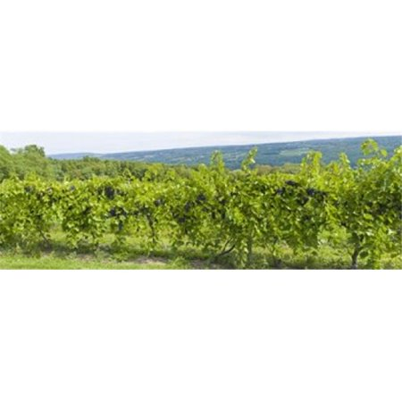 Grapevines in a vineyard  Finger Lakes  New York State  USA Poster Print by  - 36 x 12 - image 1 of 1