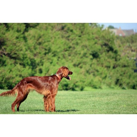 Canvas Print Pet Setter Red Setter Canine Irish Setter Dog Stretched Canvas 32 x 24 ()