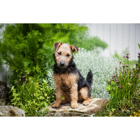 Canvas Print Terrier Puppy Pedigree Cute Lakeland Terrier Dog Stretched Canvas 10 x 14
