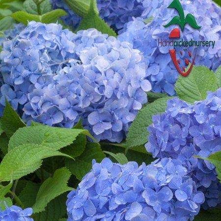 2 Hydrangea Macrophylla Mathilda Gutges Live Plant Quart Pot Free