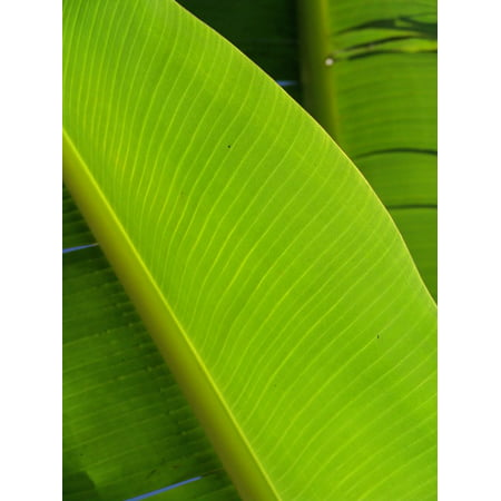 LAMINATED POSTER Exotic Leaf Palm Fronds Palm Frond Palm Tree Poster Print 24 x 36