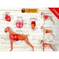 Canine Internal Organ Anatomy Chart