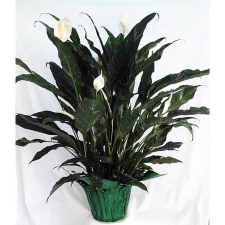 Domino Peace Lily Plant - Spathyphyllium - Easy - 6