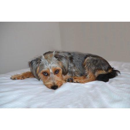 LAMINATED POSTER Dog Wiener Yorkshire Animal Hybrid Dog On Beach Poster Print 11 x 17