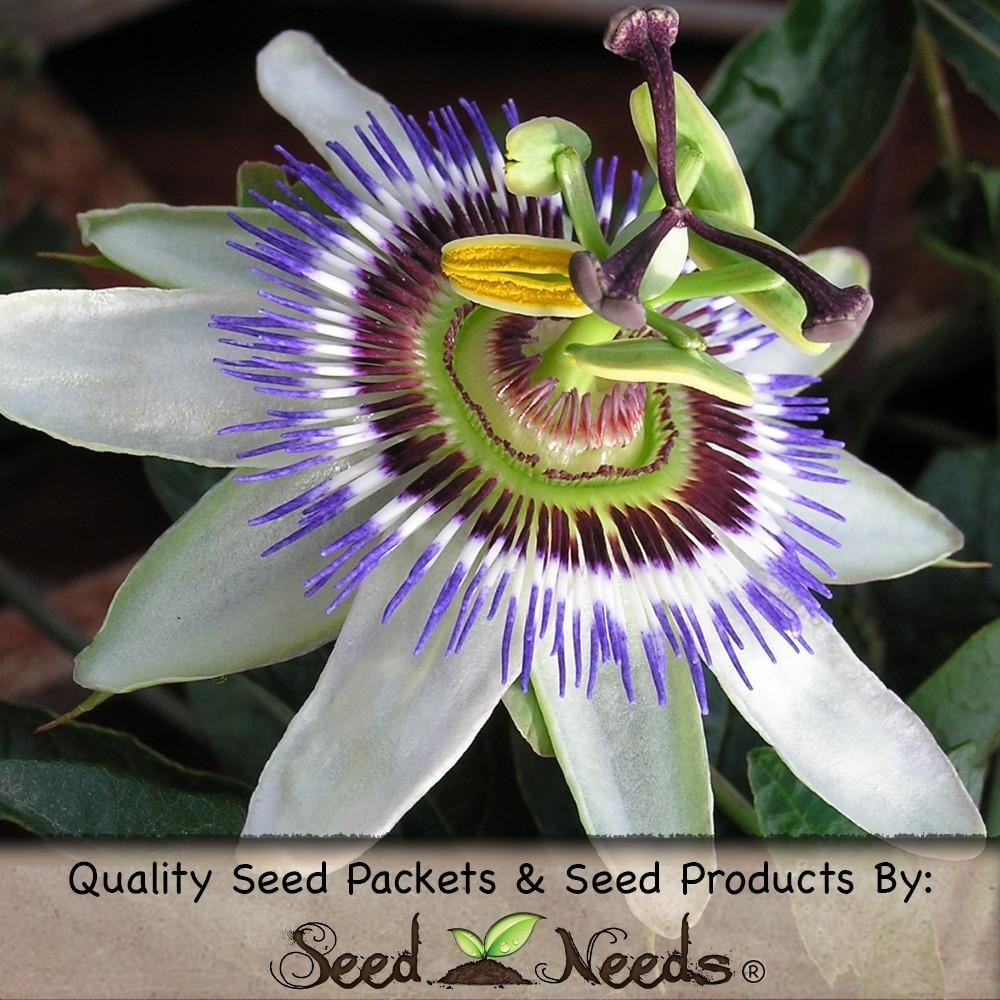 Packet of 100 Seeds, Royal Blue Passion Flower (Passiflora caerulea) Open Pollinated Seeds by Seed Needs