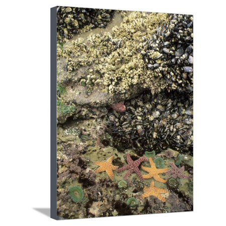 Mussels, Gooseneck Barnacles, Pisaster Sea Stars and Green Anemones on the Oregon Coast, USA Stretched Canvas Print Wall Art By Stuart Westmoreland