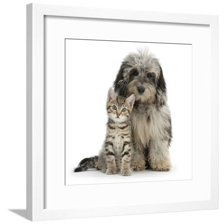 Tabby Kitten 8 Weeks With Fluffy Black And Grey Daxie Doodle Daschund Poodle Cross Puppy Framed Print Wall Art By Mark Taylor