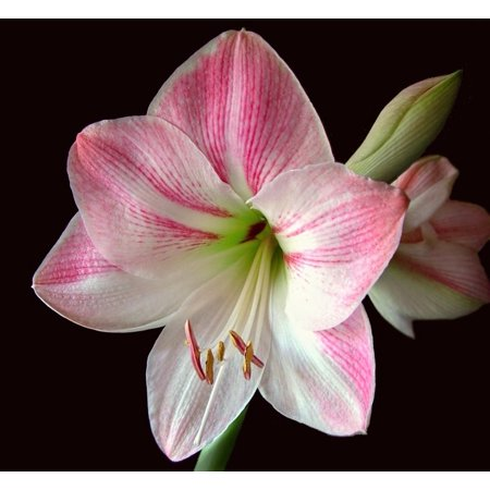 - LAMINATED POSTER Bloom Bulb Flower Pink Floral Amaryllis Botany Poster Print 24 x 36