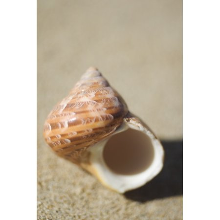 Tapestry Turban Seashell (Turbo Petholatus) Laying On Sand Selective Focus PosterPrint