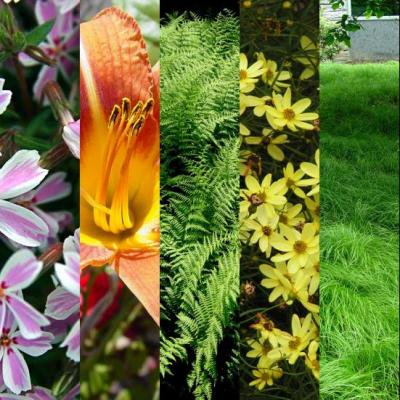 Native Ground Cover (Classy Groundcovers - Sunny Native Mix #2, 25% off: 25 Coreopsis v. 'Moonbeam', 25 Dennstaedtia punctilobula, 25 Carex pensylvanica, 25 Hemerocallis 'Orange', 25 Phlox s. 'Candy Stripe')
