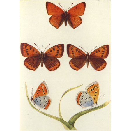 Posterazzi The Butterflies of the British Isles 1928 Large Copper Canvas Art - Unknown (24 x 36) British Bronze Wall