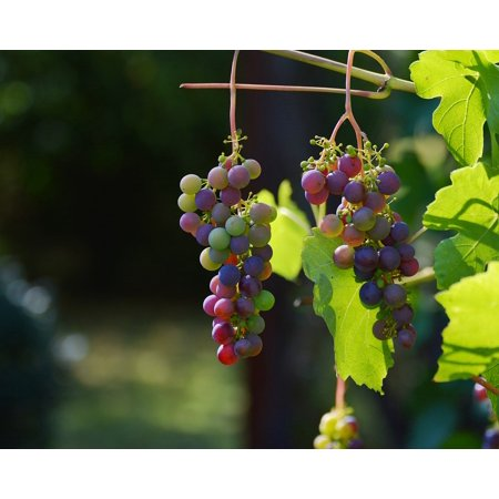 Laminated Poster Winegrowing Wine Grapes Red Grapes Vine Grapevine Poster Print 11 x