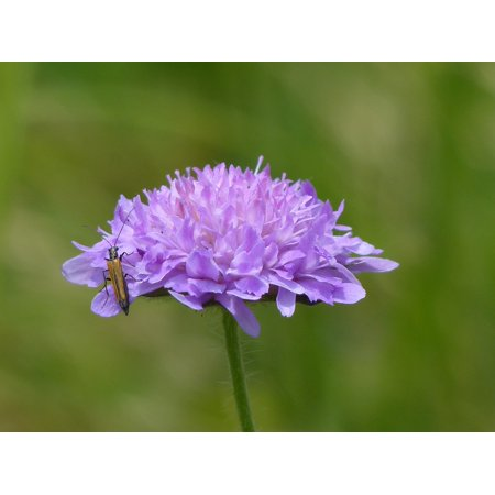 (Laminated Poster Field Scabious Pointed Flower Bloom Blossom Purple Poster Print 24 x 36)