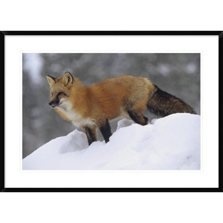 Global Gallery Red Fox Standing At The Top Of A Snow Bank  Montana Framed Photographic Print