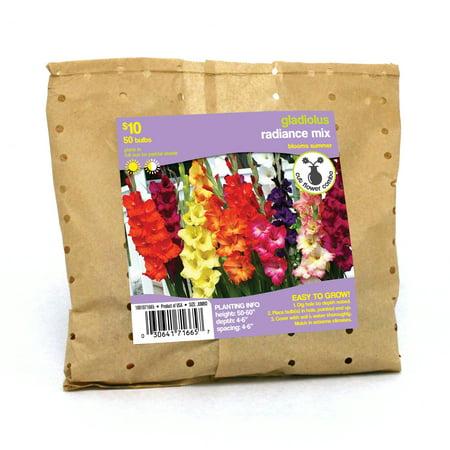 Gladiolus Radiance Mix