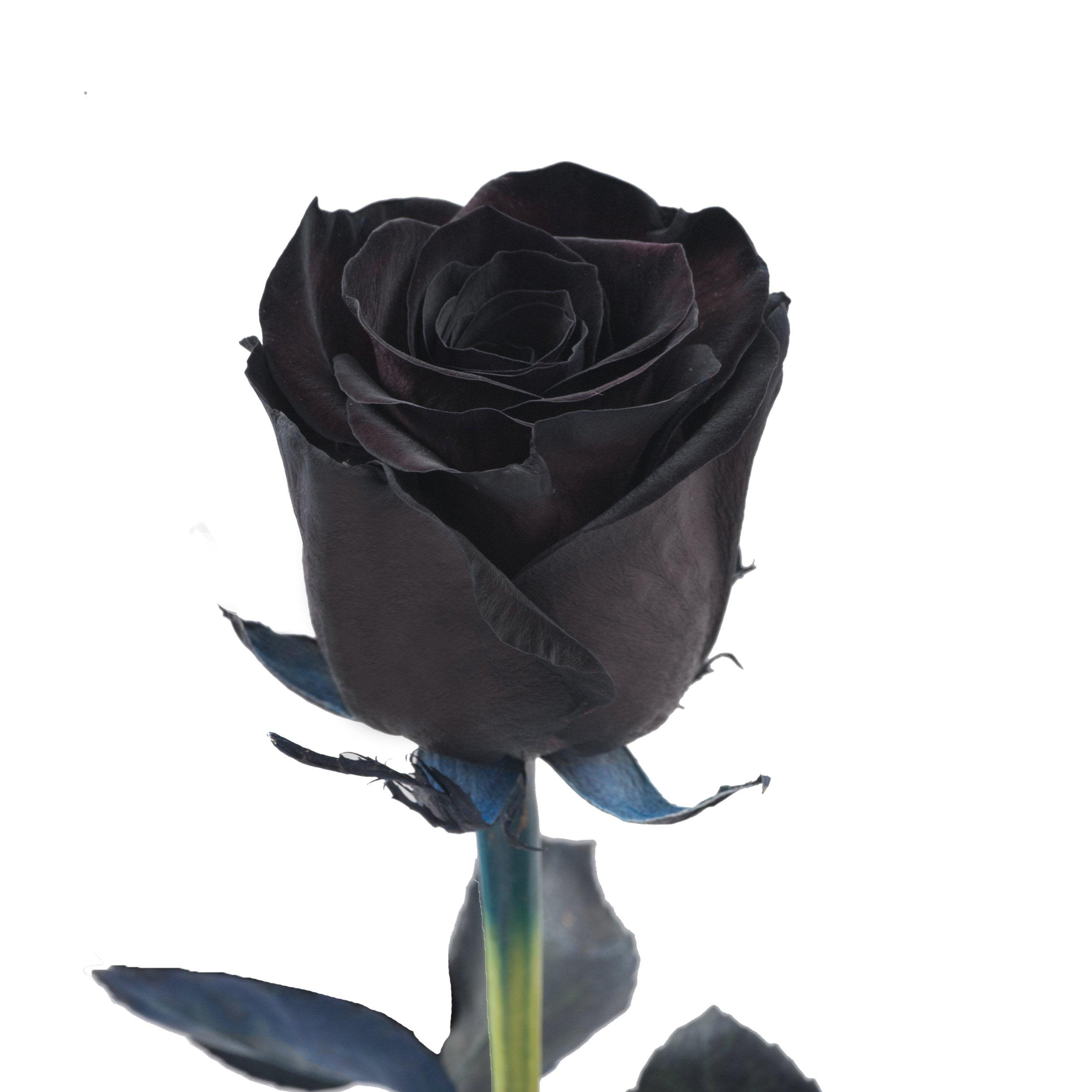 Picture of: Tinted Black Roses 50 Cm Fresh Cut 50 Stems Walmart Com Walmart Com