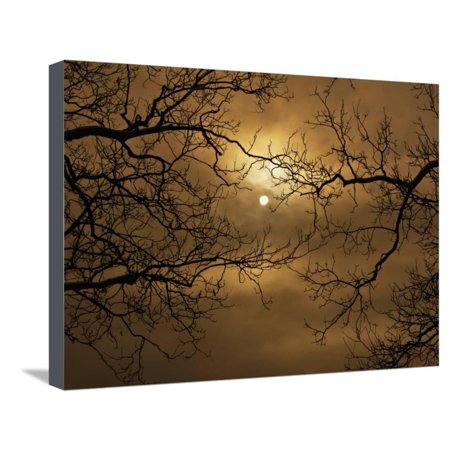 Branches Surrounding Harvest Moon Stretched Canvas Print Wall Art By Robert Llewellyn - Harvest Moon Artwork
