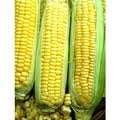 Dent Corn Seed (The Dirty Gardener Reid Yellow Dent Corn Seeds - 5 Pounds)