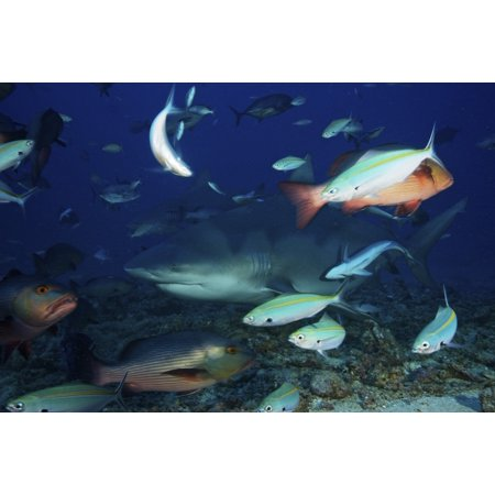 Bull shark surrounded by reef fish Fiji Poster Print