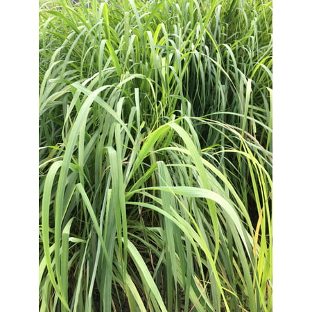 Garden Plants Grasses - 3 Lemongrass Plants in seperate 2.5 Inch Containers