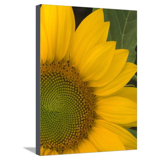 Close-up of Sunflower Stretched Canvas Print Wall Art - Walmart.com