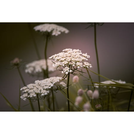 LAMINATED POSTER Wild Plant Flowers Plant Wild Carrot White Poster Print 11 x (King Of Carrot Flowers Part 2 And 3)