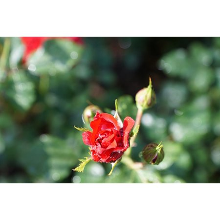 Dark Red Flower (LAMINATED POSTER Plant Red Beautiful Flower Green Rose Nature Poster Print 24 x)