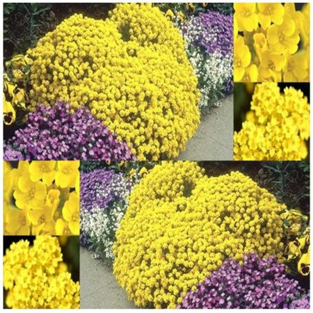 4 packs x 500 alyssum gold alyssum saxatile basket of gold 4 packs x 500 alyssum gold alyssum saxatile basket of gold goldentuft seeds mightylinksfo