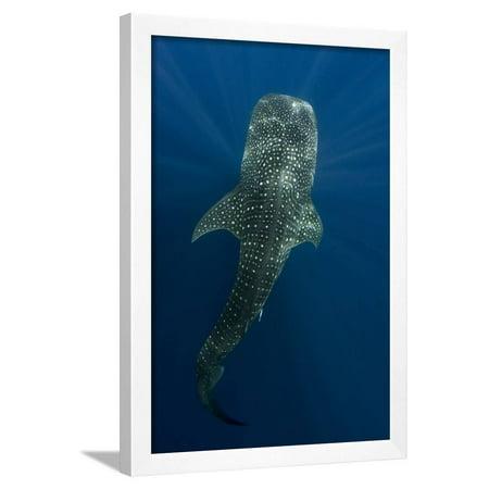 Whale Shark, Cenderawasih Bay, West Papua, Indonesia Framed Print Wall Art By Pete - Art West Bay