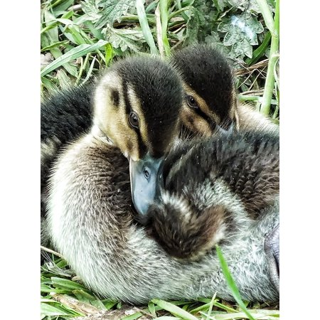 Framed Art for Your Wall Tiny Babies Ducklings Young Duckling Little Duck 10x13