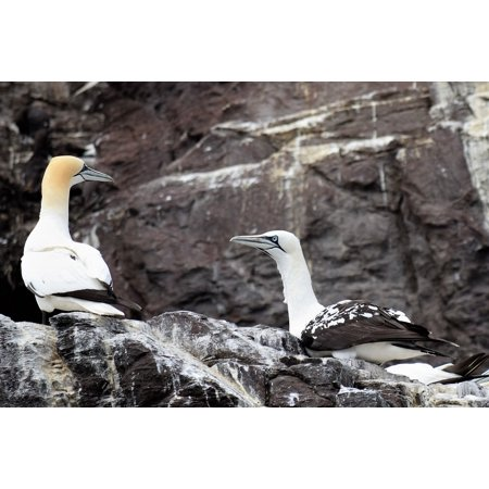 Peel-n-Stick Poster of Ocean Bird Droppings Seabird Rock Guga Gannets Poster 24x16 Adhesive Sticker Poster Print