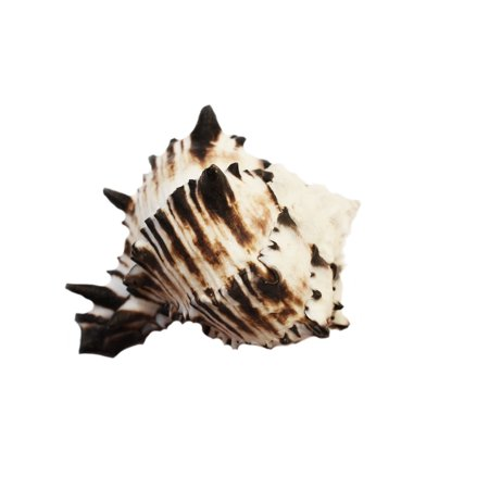 Black Murex Shell Seashell (4
