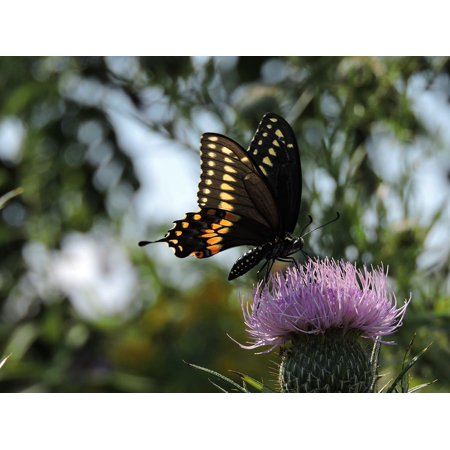 Peel-n-Stick Poster of Wildlife Butterfly Tiger Swallowtail Thistle Poster 24x16 Adhesive Sticker Poster Print Swallowtail Life Cycle