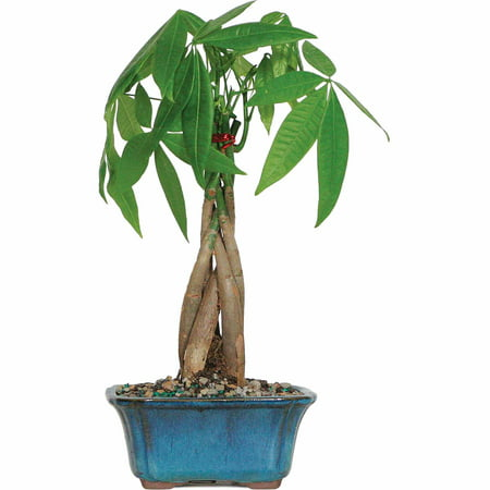 Outdoor Bonsai Tree - Brussel's Money Tree Bonsai - Small - (Outdoor)