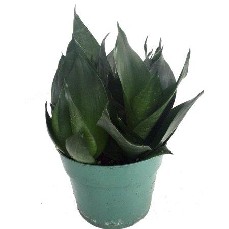 Green Jade Birdsnest Snake Plant - Sanseveria - Impossible